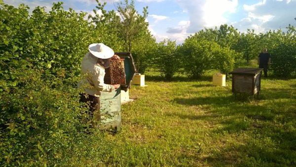 pszczoła miodna