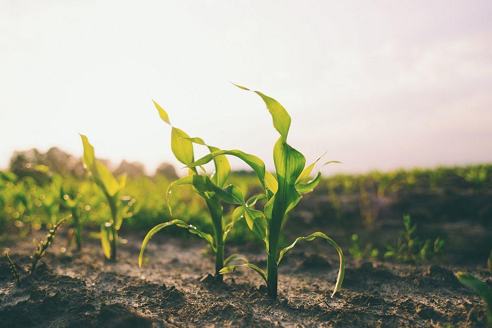 Znaczenie nawożenia dolistnego w uprawach zbóż